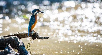 Un martin-pêcheur qui attrape du poisson dans la rivière