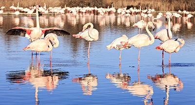 Les flamants roses en Camargue