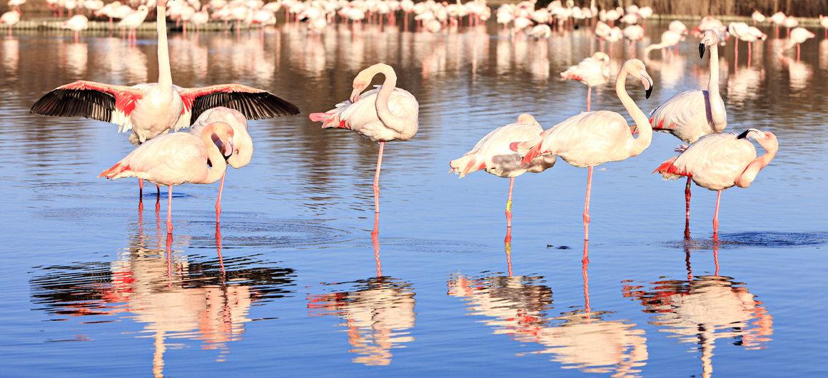 Pinke Flamingos in der Camargue